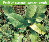 Destroy common garden weeds